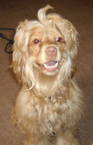 A tan Silky Cocker dog is sitting on a carpet, it is looking forward, its mouth is open and it looks like it is smiling. It has a thick long soft looking coat with shorter hair on its face and snout. Some of the hair on its head is sticking up. Its nose and lips are tan.