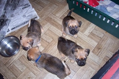 A Litter of Silky Pug puppies are walking and sitting on a hardwood floor. Some are walking to a water bowl and some are looking up.