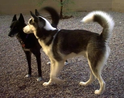The left side of a black and white Siberian Husky is standing adjacent to a black sled dog standing in front of it. They are in a yard were they are standing on a gravelly surface in a backyard. Both dogs have their tails up.