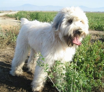 Front side view - A soft looking, long haired, white with black Soft Coated Wheaten Terrier is standing in dirt and it is looking to the right. Its mouth is open, its tongue is out and there are tall weeds in front of the dog.