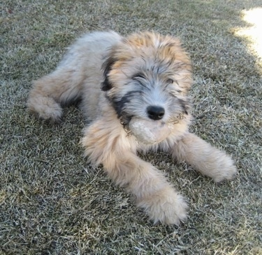 A fluffy tan with black Soft Coated Wheaten Terrier is laying across a grass surface and it is looking to the right.