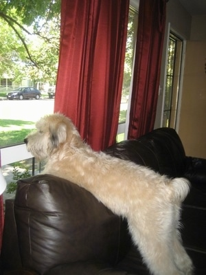 The back left side of a tan Soft Coated Wheaten Terrier that is laying across the top of a brown leather couch looking out of a window it is in front of.