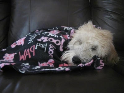 A tan Soft Coated Wheaten Terrier is sleeping on a black leather couch and it is covered in a black blanket with pink words all over it.