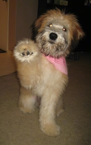 A tan Soft Coated Wheaten Terrier with a pink bandana is sitting on a carpeted floor and its left paw is in the air.
