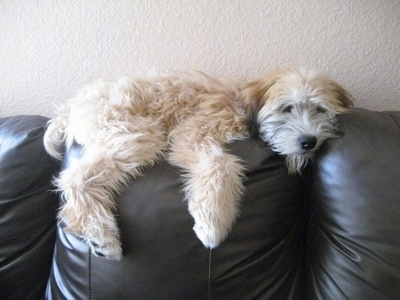 A tan Soft Coated Wheaten Terrier is laying down on the back of a black leather couch.