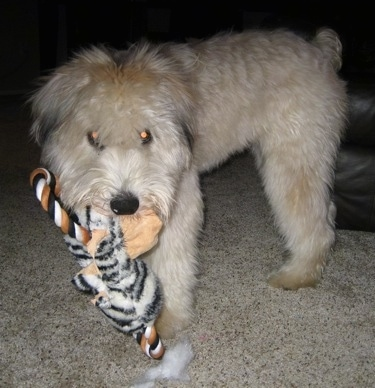 A soft looking tan Soft Coated Wheaten Terrier is standing on a carpet and it has a plush toy in its mouth.