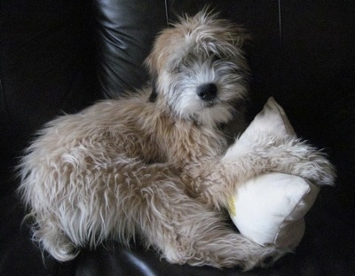A tan Soft Coated Wheaten Terrier dog is laying on a black leather couch on top of a small white pillow.