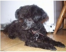 A black Teacup Poodle is laying across a kitchen floor and it is looking down and to the left.