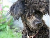 Close up head shot - A black Teacup Poodle is sitting outside in grass. It is looking down and to the right. It has longer hair on its head that looks like a mop.