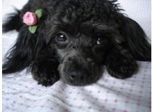 Close up - A black Teacup Poodle is laying down on a bed, it has a flower above its ear and it is looking forward.