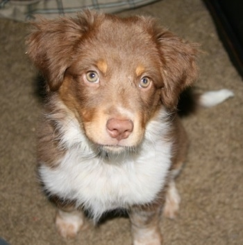 Top down view of a chocolate with white and brown Texas Heeler puppy sitting on a carpet and it is looking up. It has a brown nose and furry hair on its ears.