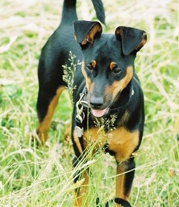 A black and tan Toy Manchester Terrier dog is standing in tall grass. Its mouth is open and tongue is out and its ears are flopped over and its tail is up. It is looking down and to the left.