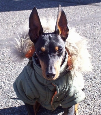 A black and tan Toy Manchester Terrier dog is wearing an army green coat with a fuzzy hoody and it is sitting on a blacktop. Its ears are cropped to a point and trained to stand straight up.