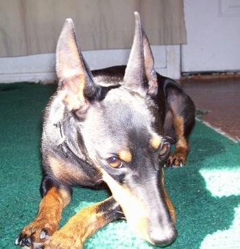 View from the front - A black and tan Toy Manchester Terrier dog is laying on a green carpet in a beam of sunshine. Its ears are cropped to a point and trained to stand straight up.