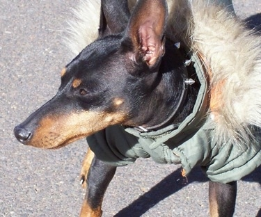 Close up front view - A black and tan Toy Manchester Terrier is wearing an army green coat with a fuzzy hoody standing on a black top and it is looking to the left. It has a long snout.
