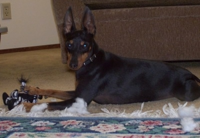 A black and tan Toy Manchester Terrier dog is laying on a tan carpet in front of a brown couch and it has one of its paws over a Zebra plush toy. There is a blue, green, pink and white throw rug in front of it.