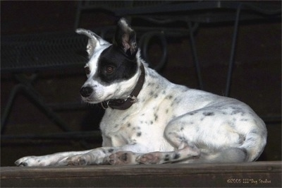 Side view - A white with black ticked Mountain Feist dog is wearing a black collar laying on a porch at the top of a staircase. There are metal stairs behind it.