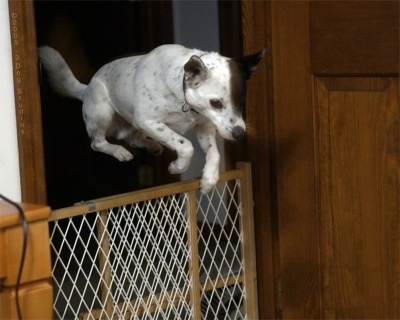 Action shot - A white with black ticked Mountain Feist dog is jumping over a tan and white baby gate that blocks a doorway. The dog's entire body is over top of the gate and all four paws are clearing it.