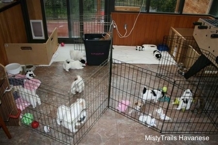 A litter of young puppies playing inside of a wire rack enclosure inside of a house.