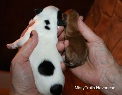 Back Side - A Person Holding 2 puppies. One Puppy is a Preemie and the other puppy is not.