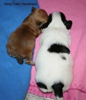 Preemie puppy laying next to a full size puppy
