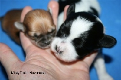 Close Up - Preemie puppy laying next to a full size puppy