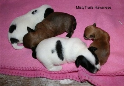 Preemie and three other puppies laying on a blanket