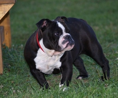 A black with white stocky Amitola Bulldog is standing on tgrass, it is looking to the right and there is a bench to the left of it.