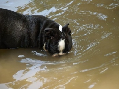 The right side of a black with white Amitola Bulldog that is swimming with its head in the water.