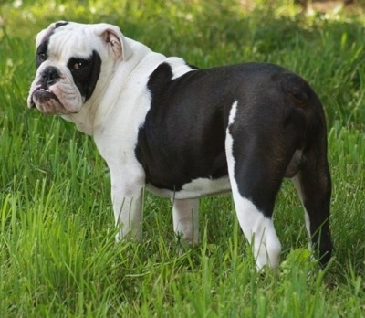 The back left side of a white and black Amitola Bulldog that is standing in grass and it is looking forward.