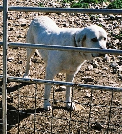 The front right side of a white Anatolian Pyrenees that is standing in dirt and behind a fence.