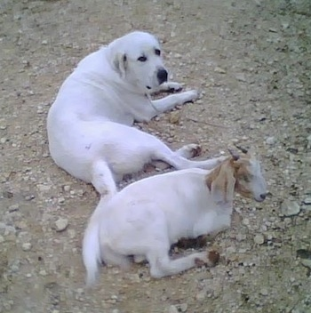 The back right side of a white Anatolian Pyrenees that is laying on dirt above a goat.div