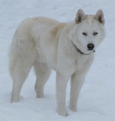 The front right side of a thick coated, white Wolf hybrid. It is standing across a snowy surface and it is looking forward. It has small perk ears.