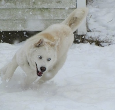 A white Wolf Hybrid is running across a snowy yard, its mouth is open and it is actively snowing in the image. Its eyes are blue.
