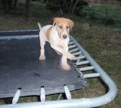 A white with brown Bull Arab puppy is walking around on a trampoline and it is looking forward.