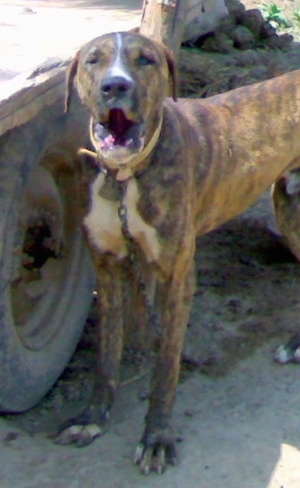 Front side view - A brown brindle with white Pakistani Mastiff dog is standing next to a wagon wheel barking.