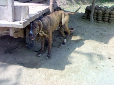 A brown brindle with white Pakistani Mastiff is standing in dirt and under the tire well of a wagon to get into the shade. Its mouth is open and its back right paw is in the air.