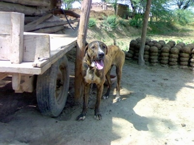 A brown brindle with white Pakistani Mastiff dog is standing on dirt next to a wooden flat-bed trailer and it is looking forward. its mouth is open and tongue is out.