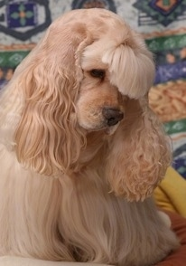 Close Up - A nicely groomed cream American Cocker Spaniel is sitting on a bed