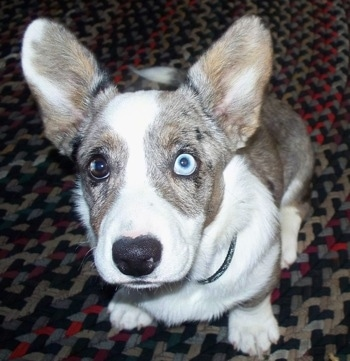 Close Up - Scout the Cardigan Welsh Corgi is sitting on a carpet and looking at the camera holder