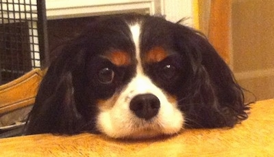 Close Up - Chip the Cavalier King Charles Spaniel is laying its head on a kitchen table