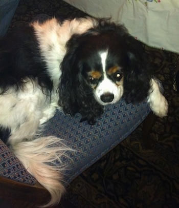 Chip the Cavalier King Charles Spaniel is laying on a pillow on top of a rug