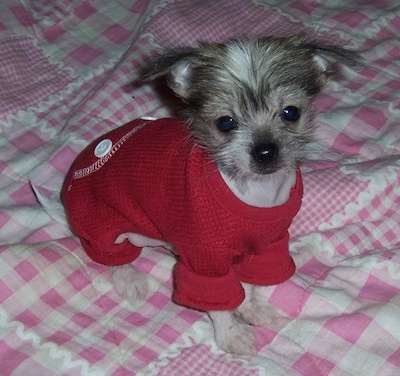 PeeWee the Crested Peke puppy is wearing a red knit sweater and sitting on a bed that has a pink and white blanket over it