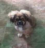 Tambuchi the Crested Peke puppy is sitting on a brown tiled floor and looking up