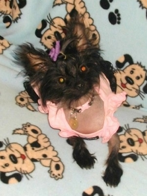 Nautika the Crustie is wearing a peach shirt and collar with a purple bow on her head while sitting on a blanket that has cartoon print dogs all over it