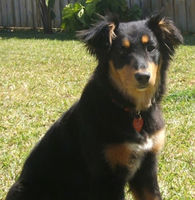 Close Up - Shayla the black and tan Dakotah Shepherd is sitting outside in a yard with a wooden fence behind her