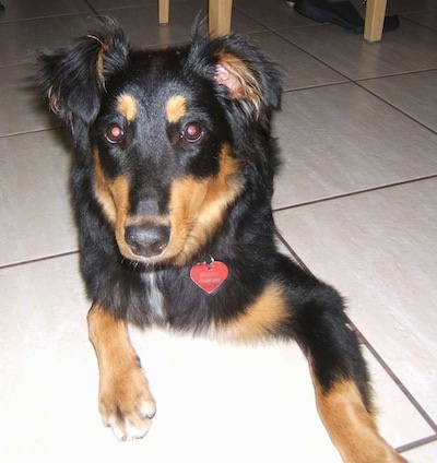 Close Up - Shayla the black and tan Dakotah Shepherd is laying on a tiled floor. There is a wooden chair behind her