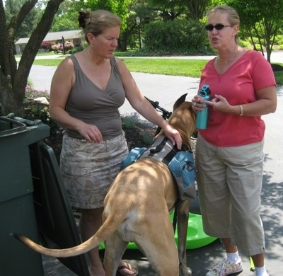 The back of a tan with white Great Dane that is wearing a backpack and it is standing in between two talking ladies.