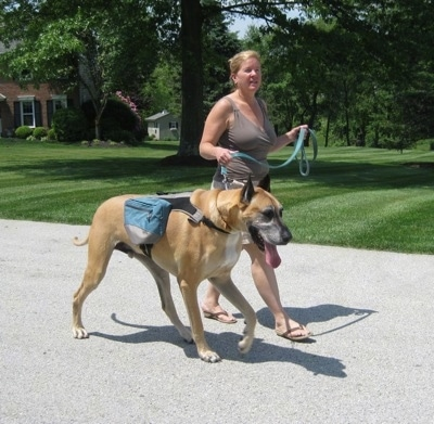 The front left side of a tan with white Great Dane, that is wearing a backpack, is being led on a walk by a person wearing sandals.