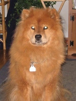 Deziree the Chow Chow sitting on a carpet in a house